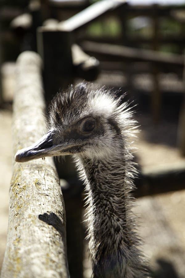 wilde struisvogel stock afbeelding