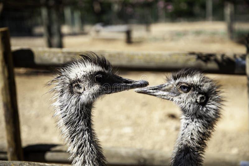 wilde struisvogel stock fotografie