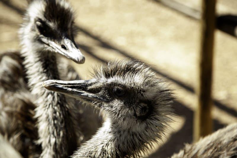 wilde struisvogel stock afbeeldingen