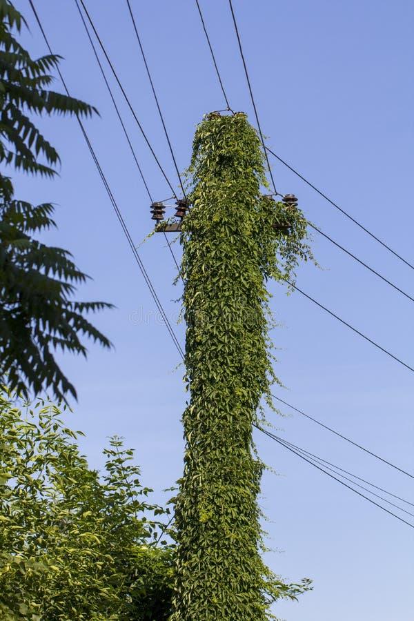 Wilde Trauben, die auf einer Unterstützung der Fernleitung wachsen stockfotografie