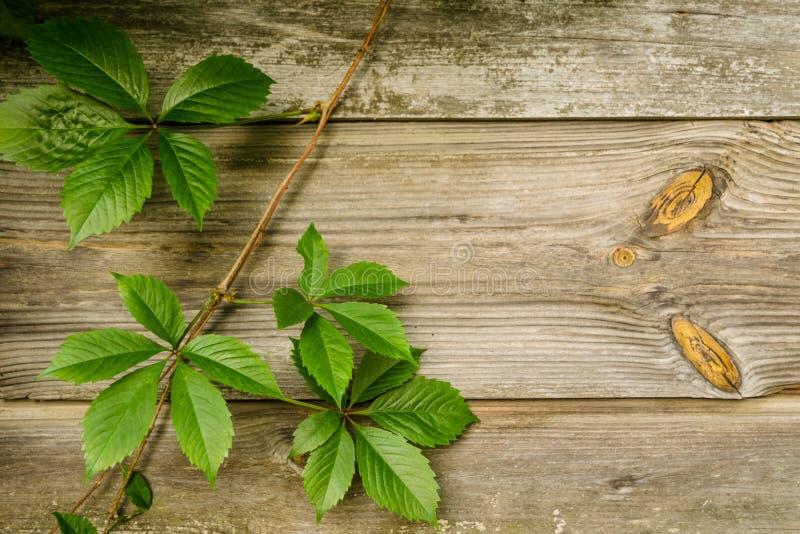 Wilde Traubenniederlassungen mit Blättern auf schäbigen natürlichen hölzernen Planken im Sommer Laub auf Weinlesebraun-Wandhinter stockbilder