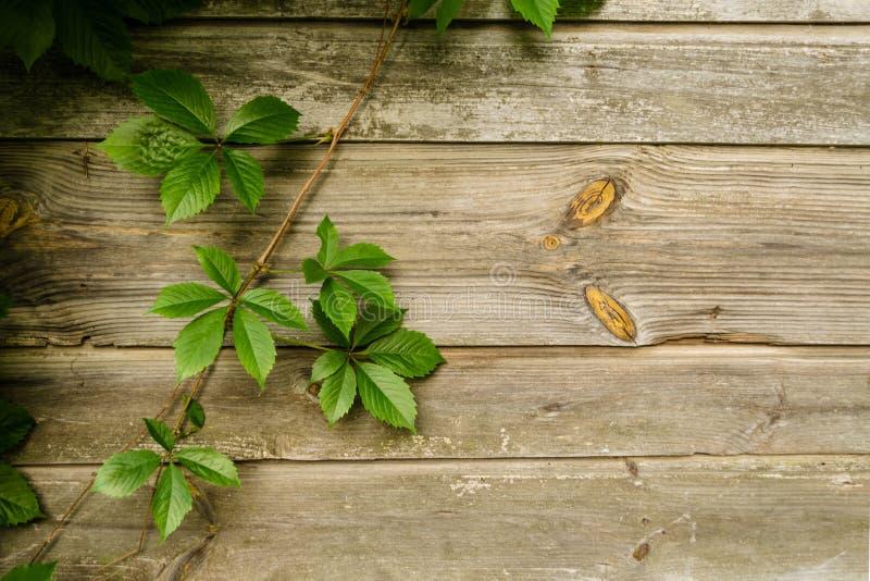 Wilde Traubenniederlassungen mit Blättern auf schäbigen natürlichen hölzernen Planken im Sommer Laub auf Weinlesebraun-Wandhinter stockfoto