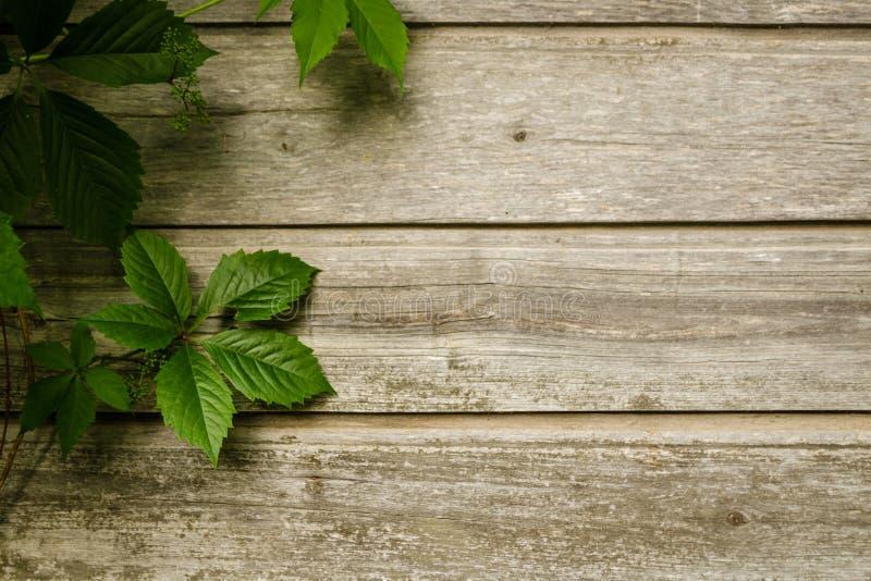 Wilde Traubenniederlassungen mit Blättern auf schäbigen natürlichen hölzernen Planken im Sommer Laub auf Weinlesebraun-Wandhinter lizenzfreie stockbilder
