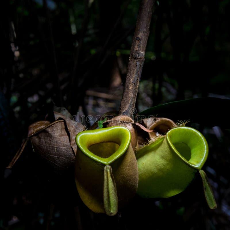 Wilde tropische Kannenpflanze lizenzfreie stockbilder