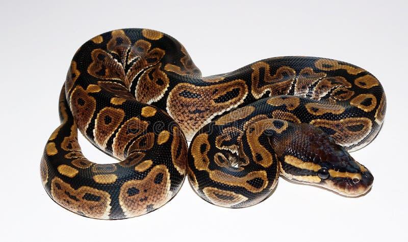 Wilde Type Koninklijke Python stock afbeeldingen