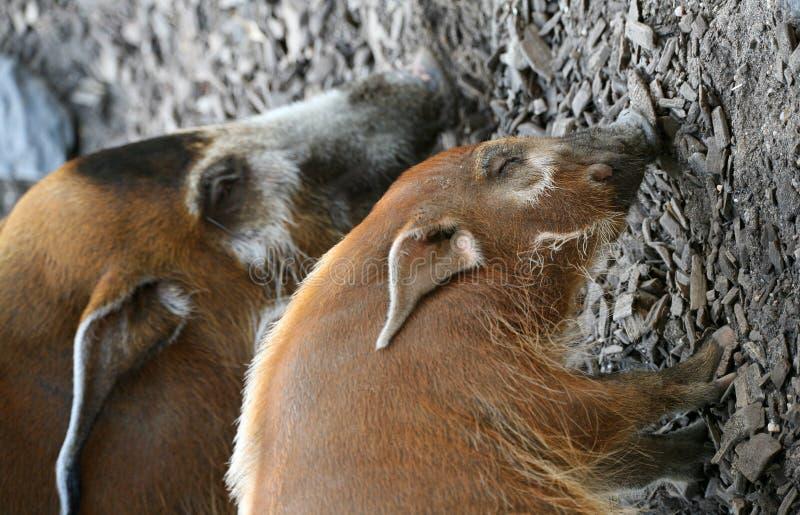 Wilde varkens stock foto