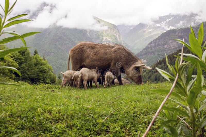 Wilde Varkens in de bergen, Georgië royalty-vrije stock afbeelding
