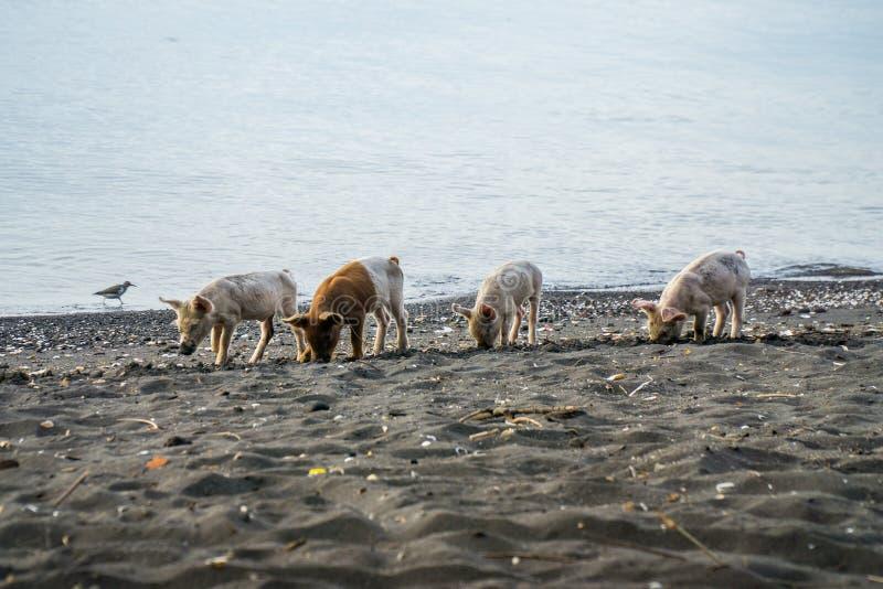 Wilde varkens die naar voedsel bij het strand op het eiland ometepe in Nicaragua zoeken royalty-vrije stock afbeelding