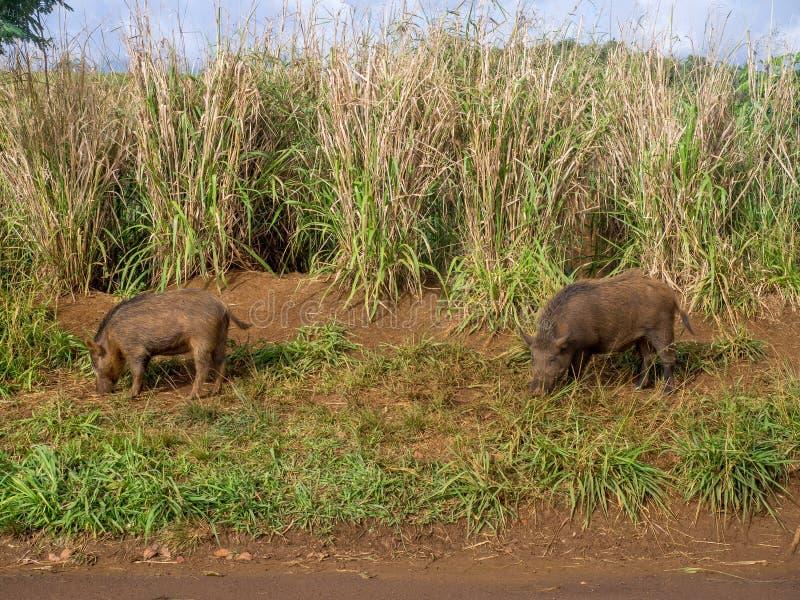 Wilde varkens in het hoogland op het Hawaiiaanse Eiland Kauai stock foto