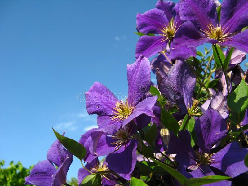 Wilde violette bloemen royalty-vrije stock foto's