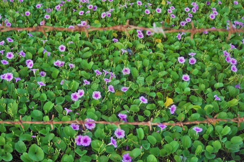 Wilde viooltjes achter prikkeldraad royalty-vrije stock afbeeldingen