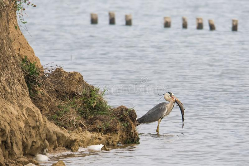 Wilde vogel: Grijze reiger met een grote vis voor lunch stock afbeelding