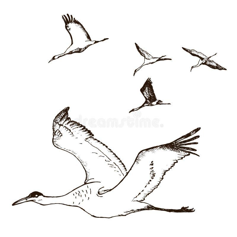 Wilde vogels tijdens de vlucht vector Dieren in aard of in de hemel Kranen of Grus en ooievaar of shadoof en Ciconia met vleugels vector illustratie