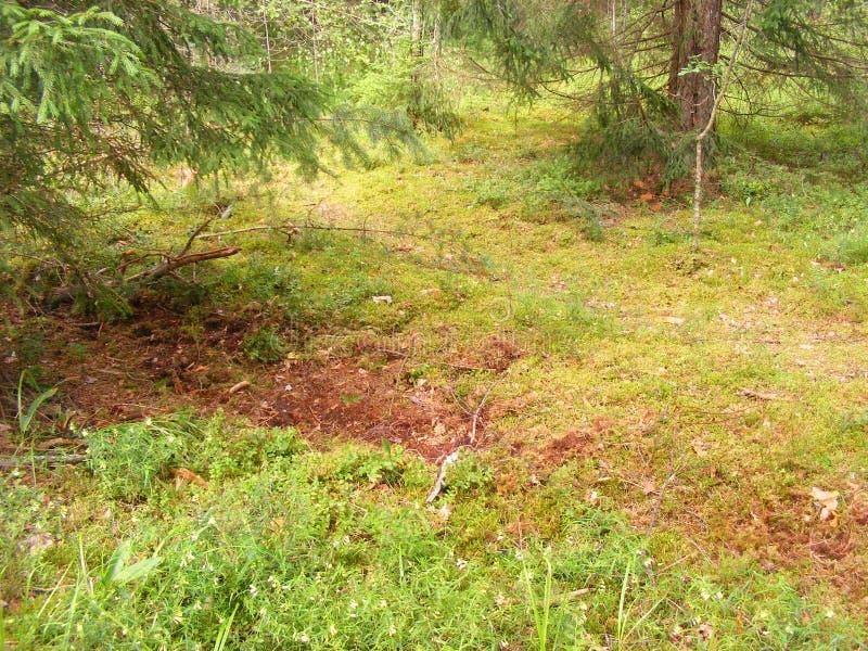 Wilde Wälder in Weißrussland: ein Eber gräbt den Boden mit Moos im Kiefernwald für Eicheln stockfotografie