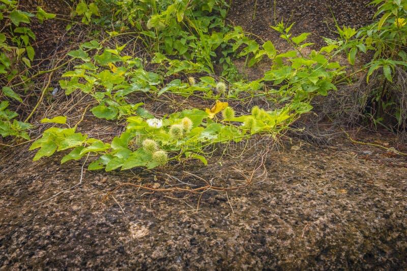 Wilde watercitroen, Seychellen royalty-vrije stock fotografie