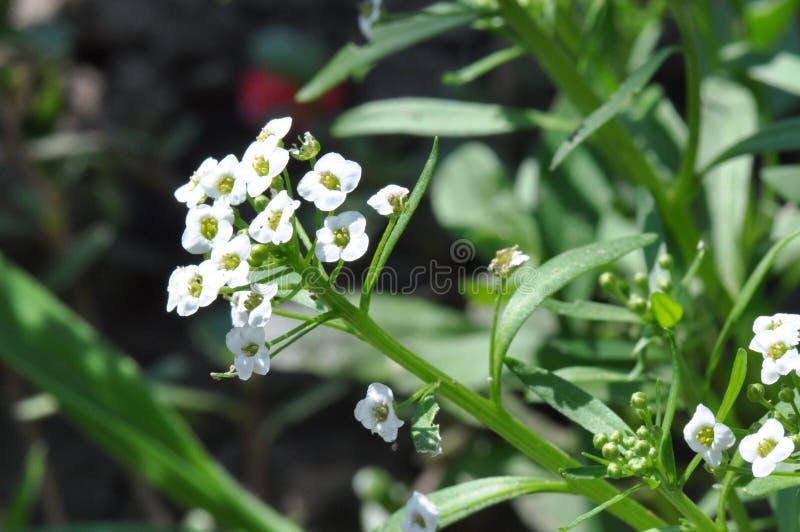 Wilde weiße Blume lizenzfreie stockfotografie