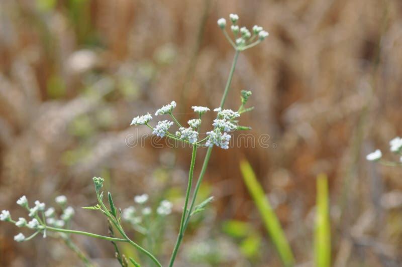 Wilde weiße Blume lizenzfreie stockbilder