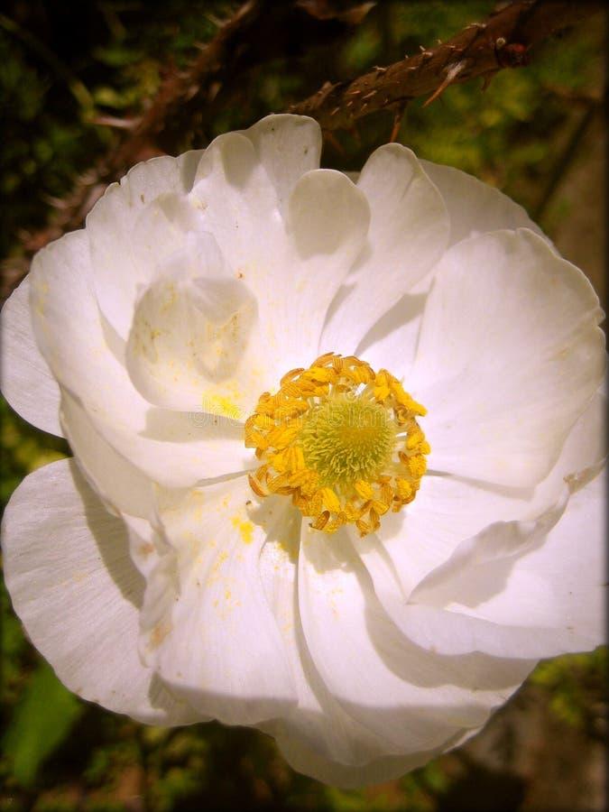 Wilde weiße Drucke der Rosa-Blumenhintergrundtapeten-schönen Kunst stockfotografie