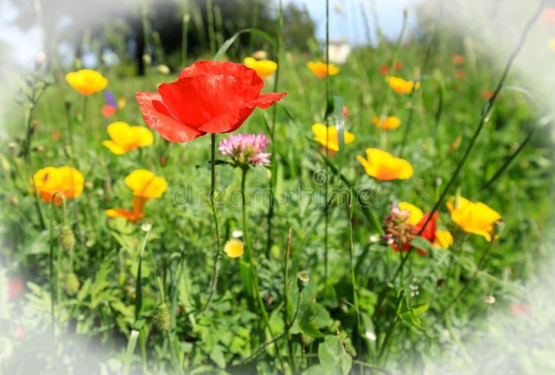 Wilde Wiese mit einer vibrierenden roten Mohnblume umgeben durch Wiese und gelbe Blumen stockfoto
