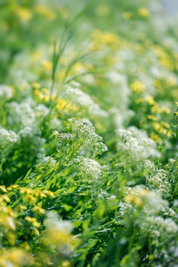 Wilde Wiesenblume, weiße Blume und gelbe Blumen lizenzfreie stockfotos