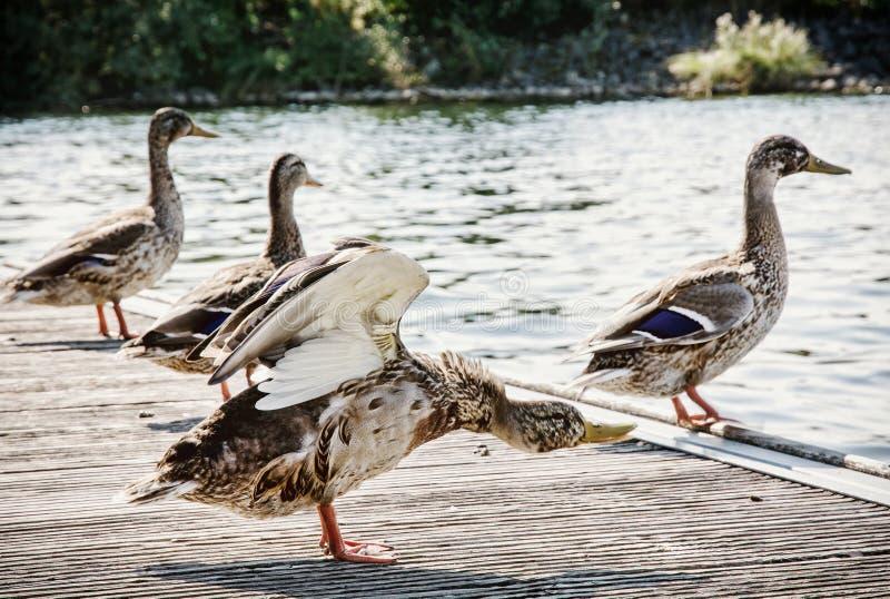 Wilde wilde eendeenden op de meerkust, natuurlijke scène stock foto's