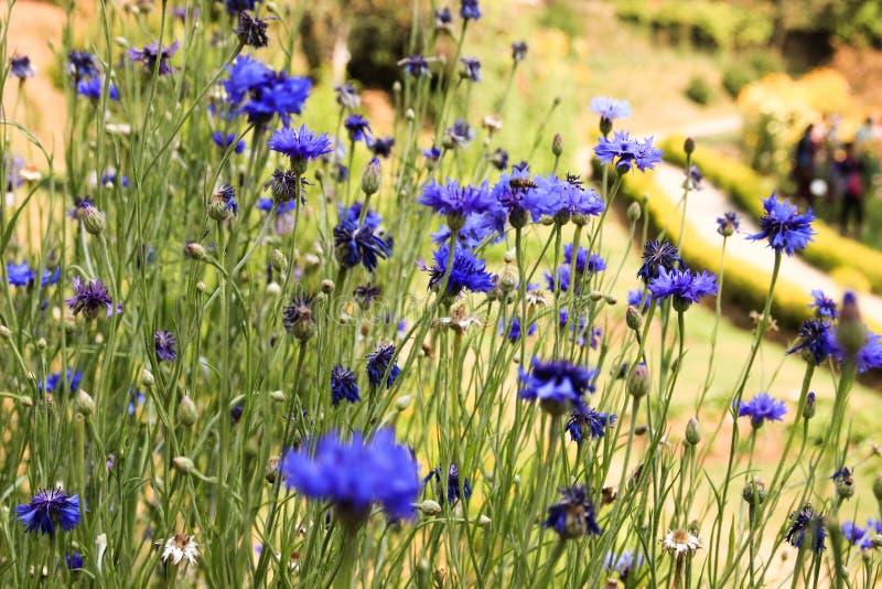Wilde wildflowerskorenbloemen op een groene achtergrond stock foto's