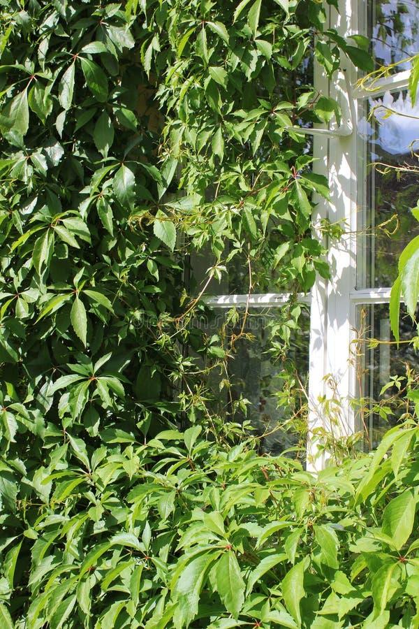 Wilde wingerd in close-up buiten venster royalty-vrije stock foto