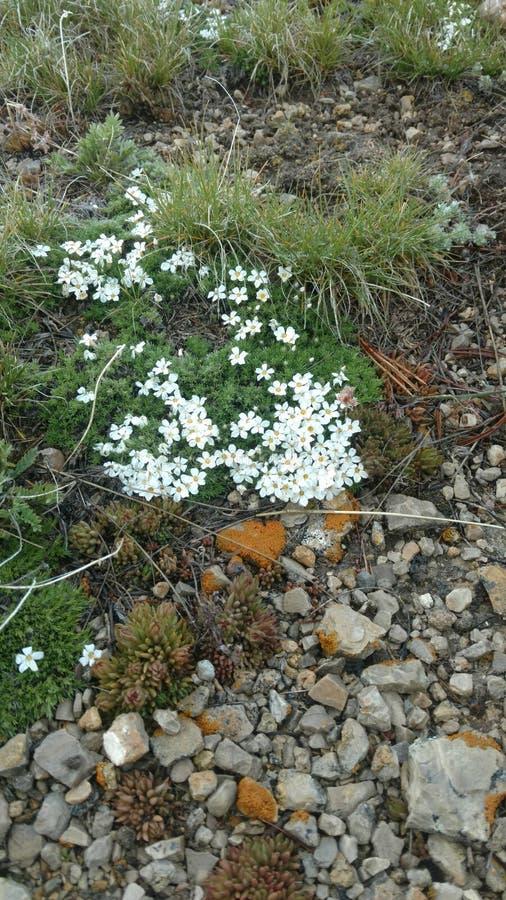 Wilde witte bloemen stock afbeelding