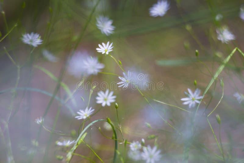 Wilde witte bloemen in zonnige weide royalty-vrije stock foto's