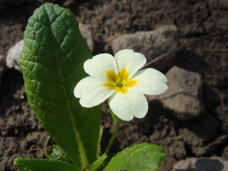 Wilde witte sleutelbloem & x28; primula vulgaris& x29; op de stenen in de tuin stock foto's
