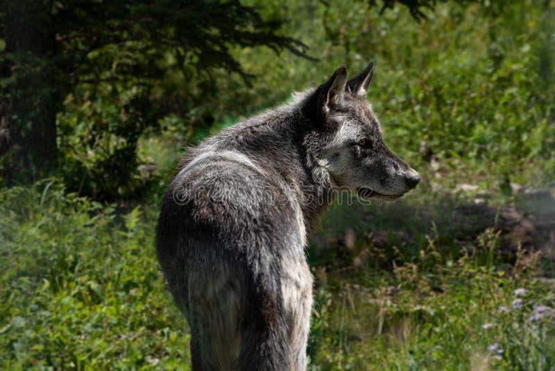 Wilde wolfshond in het bos van het Nationale Park Alberta Canada van Banff stock fotografie