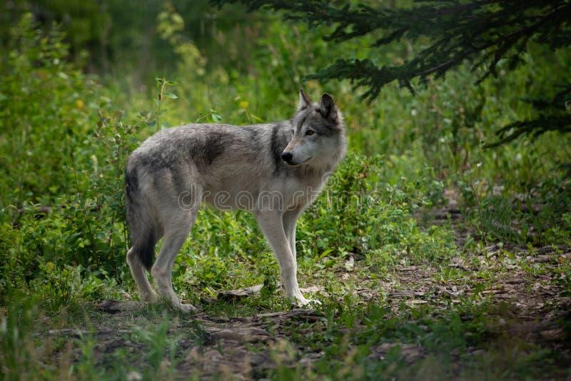 Wilde wolfshond in het bos van het Nationale Park Alberta Canada van Banff royalty-vrije stock afbeeldingen
