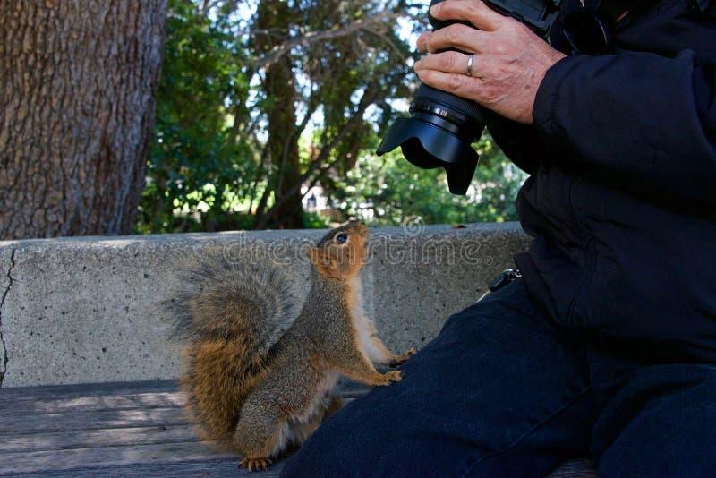 Wilde zahme schauende Kamera des Eichhörnchens sehr mit Fotografen stockfotos