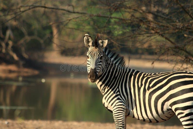 Wilde zebra stock afbeelding