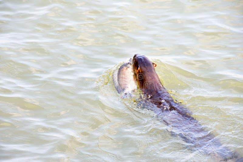 Wilde zeeleeuw in wateren royalty-vrije stock afbeeldingen