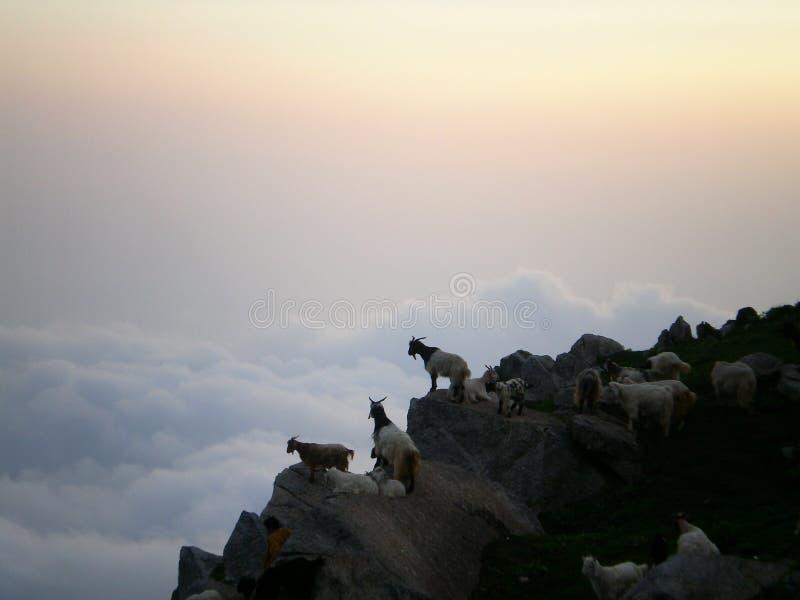 Wilde Ziegen in Dharmshala Indien lizenzfreie stockfotografie