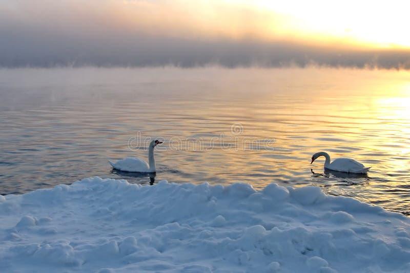 Wilde zwanen die in een de wintermeer zwemmen op zonsondergang royalty-vrije stock fotografie