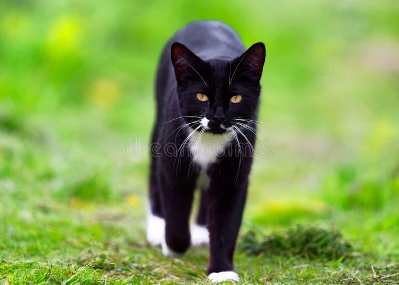 Wilde zwart-witte kat royalty-vrije stock afbeelding