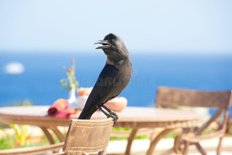 Wilde zwarte raafzitting op stoelclose-up stock afbeeldingen