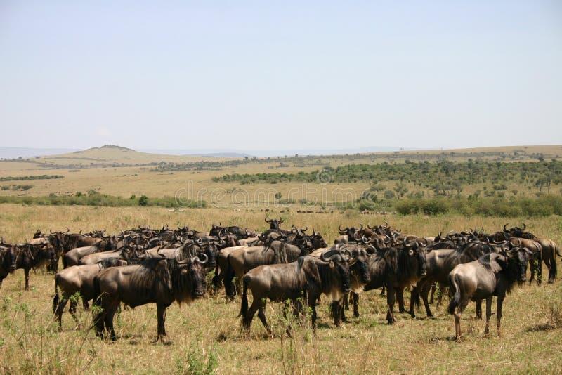 wildebeast de transfert photo libre de droits
