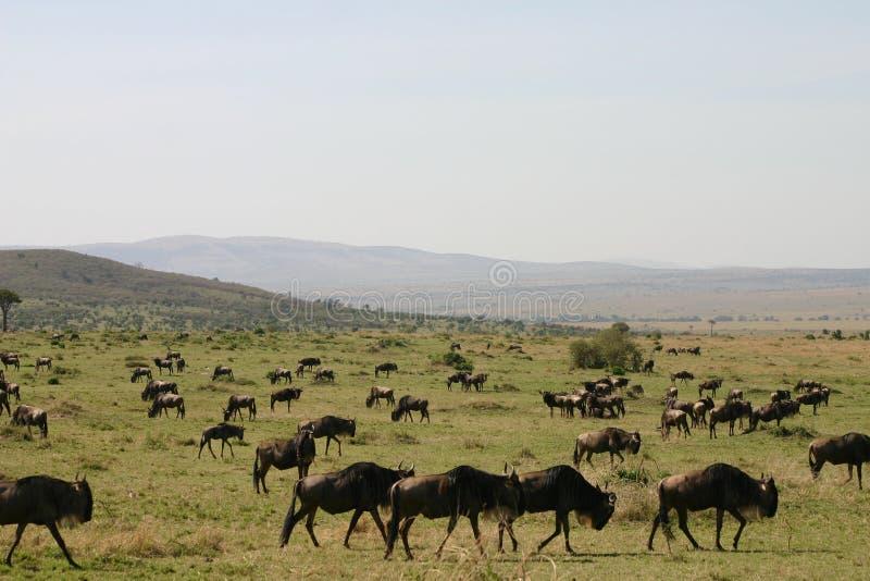 wildebeast de transfert photos stock