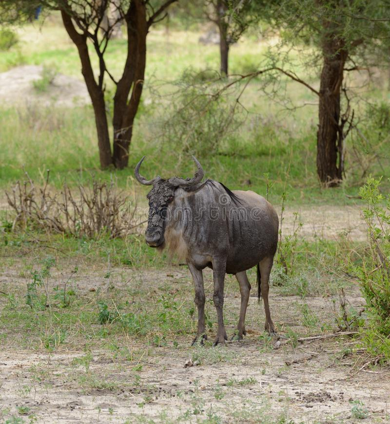 Wildebeast i Serengetien royaltyfri bild