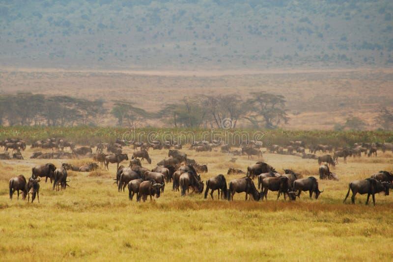 Wildebeast in Ngorongoro