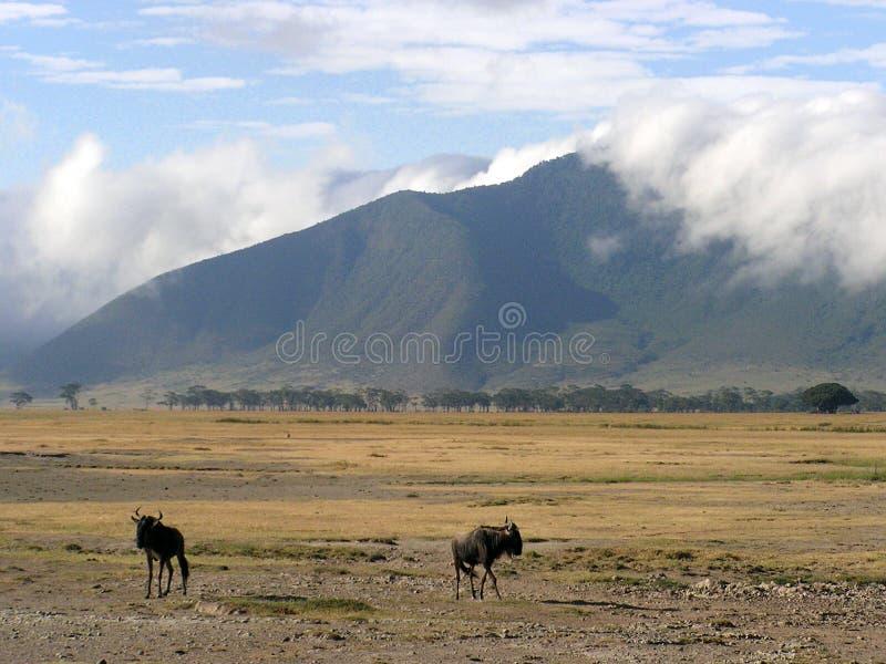 Wildebeast scenery in Ngorongoro Crater stock images
