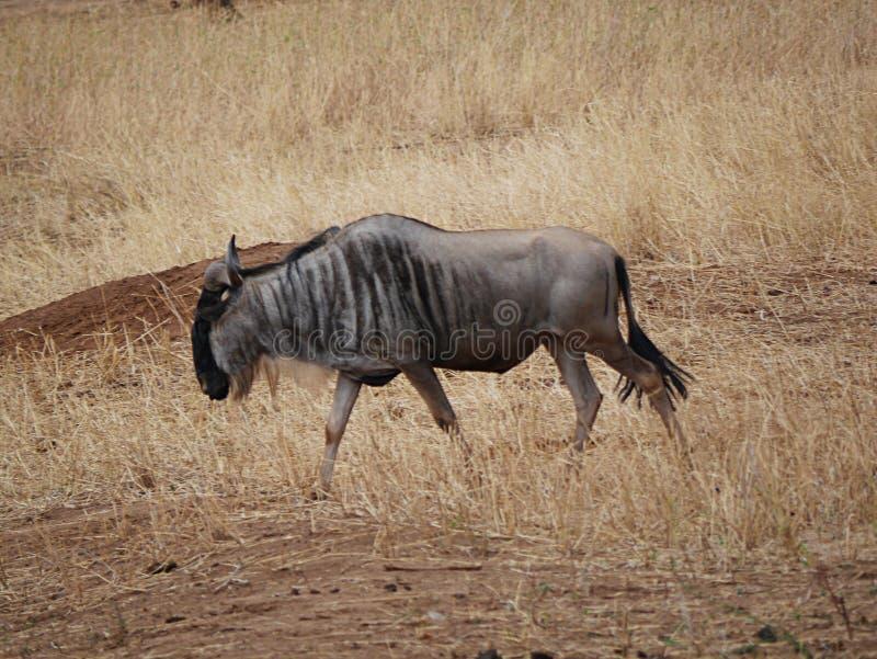 Wildebees del antílope en safari en Tarangiri-Ngorongoro fotos de archivo libres de regalías