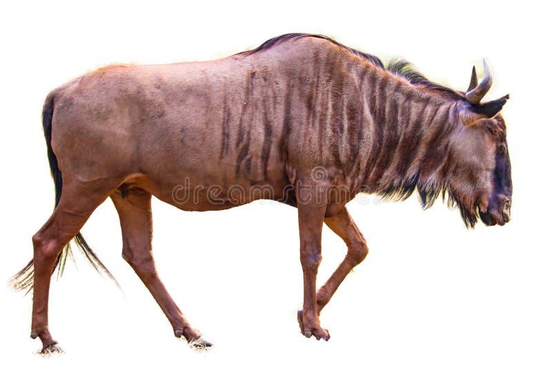 Wildebeest που απομονώνεται μπλε στοκ εικόνα