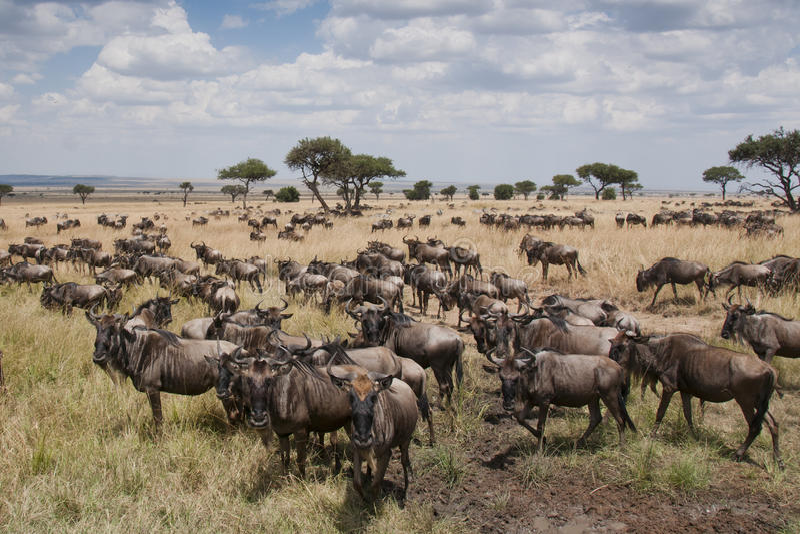 Wildebeest στις πεδιάδες του Masai Mara, Κένυα στοκ εικόνες