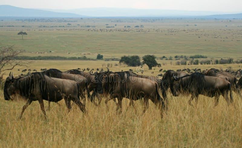 wildebeest переселения стоковые фотографии rf