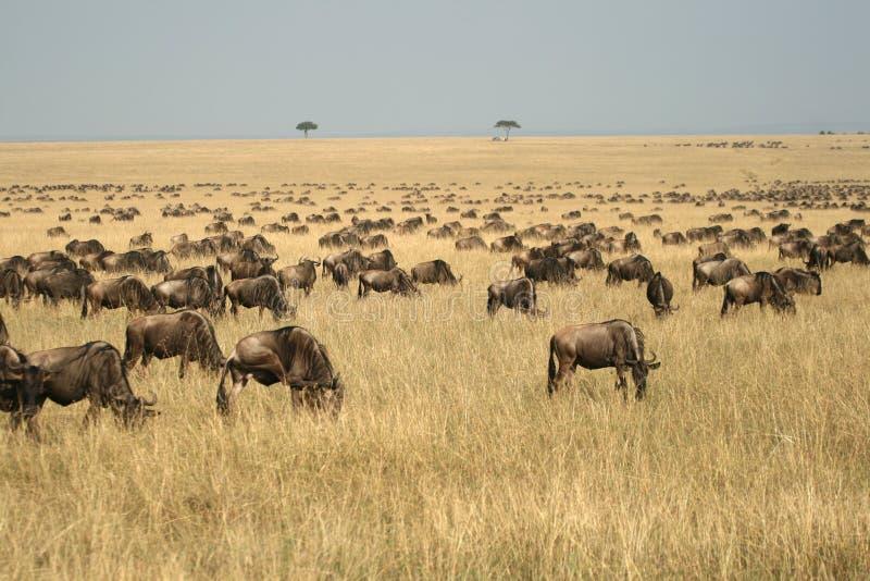 wildebeest переселения стоковое изображение rf