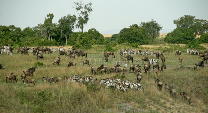 wildebeest переселения стоковое изображение